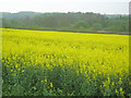 SK4152 : Oil seed rape field near Hermitage Farm by Trevor Rickard