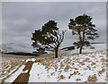 NS9930 : Scots Pines above Baitlaws by Alan O'Dowd