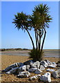 TR2335 : Dracaena palm near the shore at Folkestone by pam fray