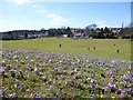 TQ3059 : Crocuses in the Park by Des Blenkinsopp