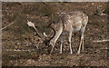 SJ7386 : A fallow deer at Dunham Massey by Ian Greig