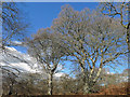 NH5757 : Magnificent Oaks in Drummondreach Wood : Week 16