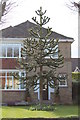 TF2425 : Monkey Puzzle Tree, Church Street, Pinchbeck by J.Hannan-Briggs