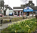 NY3703 : Daffodils at Waterhead by Gerald England