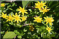 NT3470 : Lesser Celandine (Ranunculus ficaria) by Anne Burgess