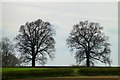 SK5623 : A pair of oak trees by David Lally