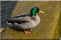 TL3704 : Mallard Drake, Lea Valley Park, Waltham Abbey by Christine Matthews