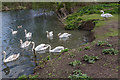 TL3703 : Mute Swans, Lea Valley Park, Waltham Abbey by Christine Matthews