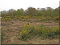 TL8814 : Gorse on Tiptree Heath by Roger Jones