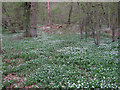 TL8513 : Wood Anemonies in Shut Heath Wood, Little Braxted by Roger Jones