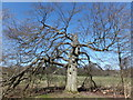 NT3763 : Magnificent old beech tree, Vogrie by Barbara Carr