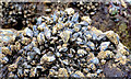 J4080 : Mussel shells, Cultra by Albert Bridge