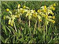 TL9228 : Cowslips, Fordham Hall Estate by Roger Jones