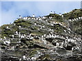 SH3425 : Seabirds on the cliffs of St. Tudwal's Island East : Week 19