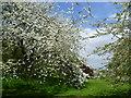 TQ4778 : Springtime in the Arboretum at Lesnes Abbey : Week 19