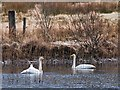 NM8601 : Whooper swans on the Dog Loch by Patrick Mackie