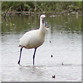 TF8944 : Spoonbill in shallow pool by Pauline Eccles