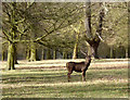 TF7927 : Stag in Houghton Park by Des Blenkinsopp