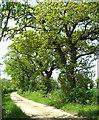 TM2990 : Oak trees beside Hogg Lane by Evelyn Simak