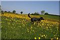 ST1625 : Buttercups near Hillfarrance : Week 22