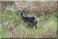 SD7118 : Roe Deer hind and fawn near Bolton Barns Farm by Alan Murray-Rust