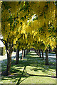NT3974 : Laburnum Arch by Anne Burgess