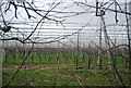 TR2860 : Hop garden by N Chadwick