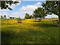 SP6837 : A good year for Buttercups by Michael Trolove