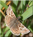 NJ3365 : Dingy Skipper Butterfly (Erynnis tages) by Anne Burgess