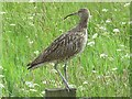NY8455 : Curlew above Allendale Town by Mike Quinn