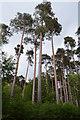 TQ7334 : Pine Trees in Bedgebury Forest by Julian P Guffogg