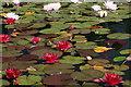 SH7972 : Water lilies : Week 28