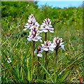 V9142 : Wild Orchid by the Sheep's Head Way by Jonathan Billinger