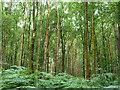 TQ2130 : Woodland, St. Leonard's Forest by Robin Webster