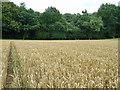 TQ2733 : Wheat field by Robin Webster