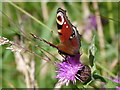 NM8603 : Peacock on knapweed by sylvia duckworth