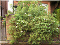 SP3165 : Rosa spinosissima hybrid 'Stanwell Perpetual', York Road front garden by Robin Stott