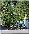 TQ7327 : Monkey Puzzle Tree, Hurst Green by Julian P Guffogg