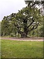 SK6267 : Sherwood Forest, The Queen Oak (Major Oak) by David Dixon