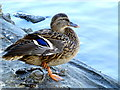 H2244 : Duck resting on one leg, Enniskillen : Week 39