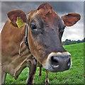 SJ9792 : Jersey cow : Week 39