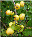 TA0610 : Hedgerow Crab Apples near Melton Ross : Week 39