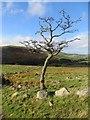 NT9028 : Thorn tree : Week 44