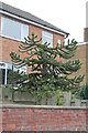 SK8287 : Truncated Monkey Puzzle Tree by J.Hannan-Briggs