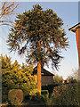 TQ8833 : Monkey Puzzle tree on Ashford Road, Tenterden by Julian P Guffogg