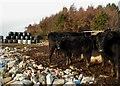 TA0096 : Cattle feeding at The Hulleys : Week 51