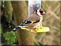 NZ5023 : Goldfinch on feeder, RSPB Saltholme : Week 3