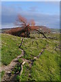 NT9832 : A Split Willow Beside The River Till : Week 5