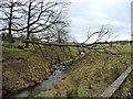 SJ7580 : Fallen tree, Tatton Park by Christine Johnstone