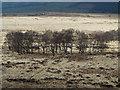 SK2576 : Trees on moorland near Stoke Flat by Trevor Littlewood